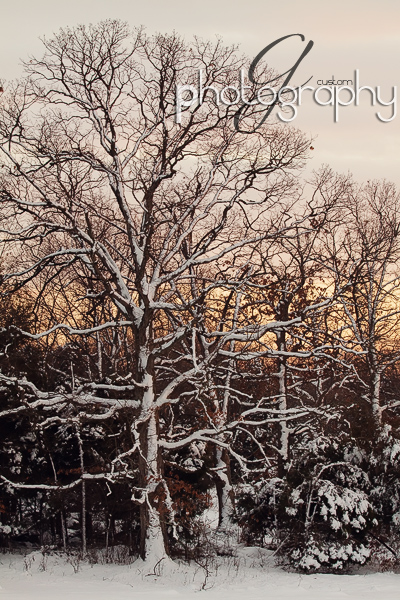 Snow & trees at twilight