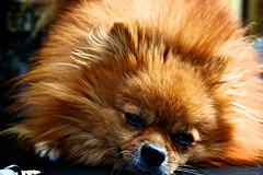 Bored pekinese dog tired writing