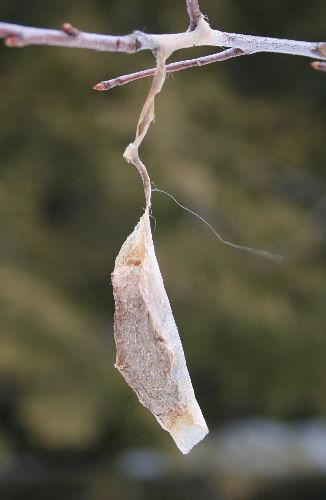 Promethea Moth cocoon