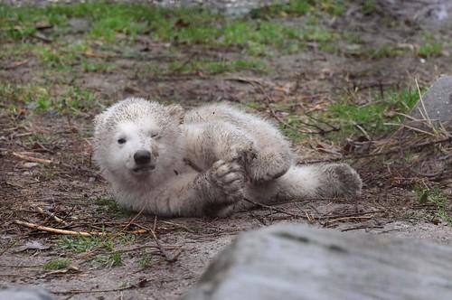 Eisbärnachwuchs im Ouwehands Dierenpark