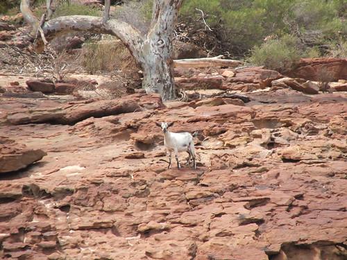 Kalbarri White Goat