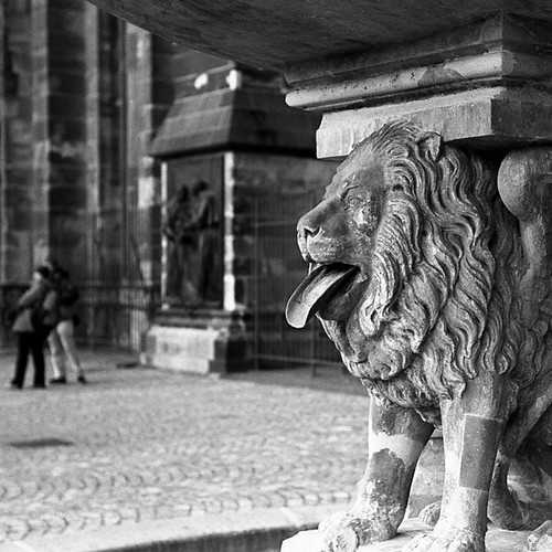Lion shows us his tongue, #35mm #scan #bw