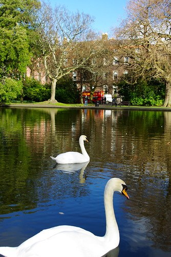 Swans in St. Stephen's Green