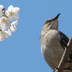 Mockingbird in the cherry tree