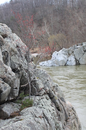 Billy Goat Trail - Red Maple on Rocks
