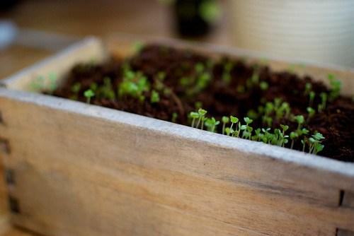 arugula (rocket) sprouts