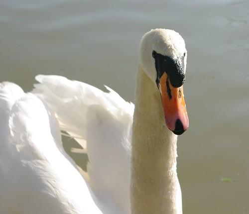 20110306-35_Swan by gary.hadden