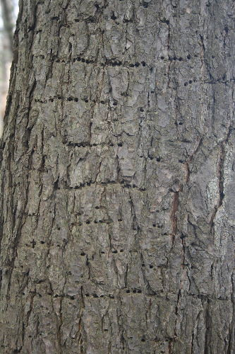 Eastern Hemlock trunk with holes