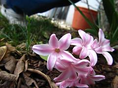 Porzellaniges Frühlingsgeblüm.