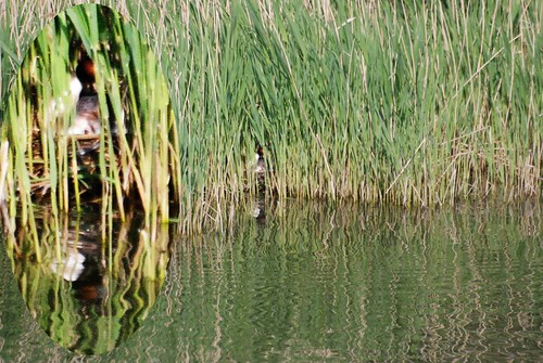 Grebe's nest in reeds on Godfrey's pond 6 May '11 098.jpg by Roger Bunting