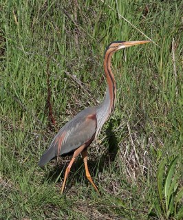 2011_03_29 PO - Purple Heron (Ardea purpurea) 02 by Mike at Sea