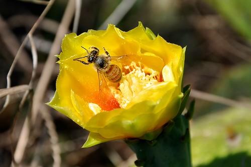 Bees on Cactus at Big Oaks - 6
