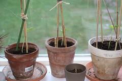 komkommerplanten 10-04