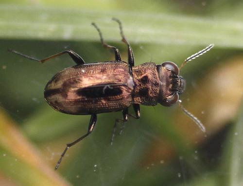 Ground beetle (Notiophilus biguttatus)