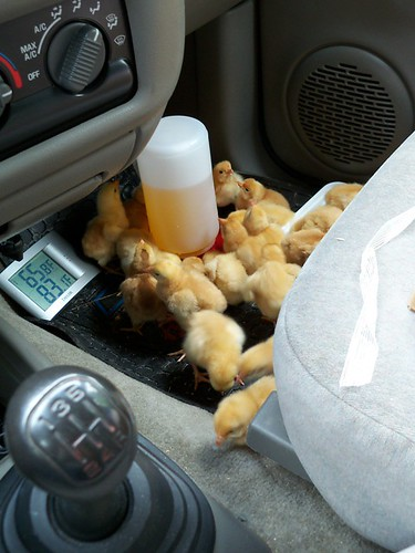 chicks in the truck
