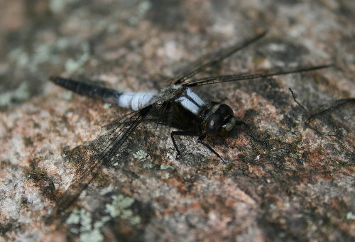 Chalk-fronted Corporal M