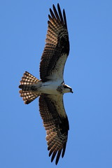 Osprey in Flight at Belle Haven by Mr. T in DC, on Flickr