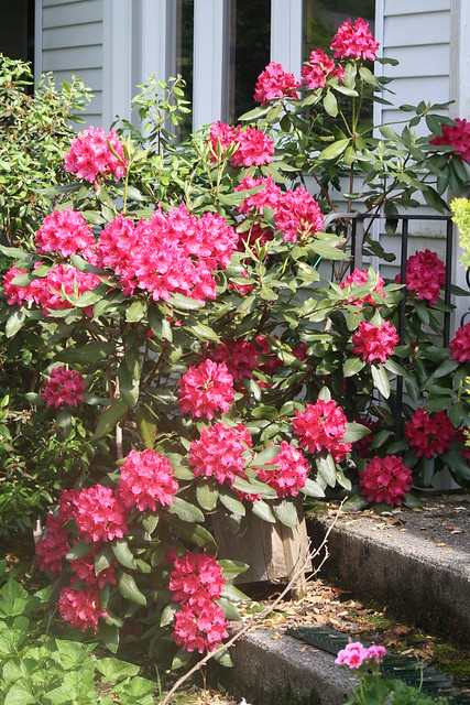 overflowing rhododendron