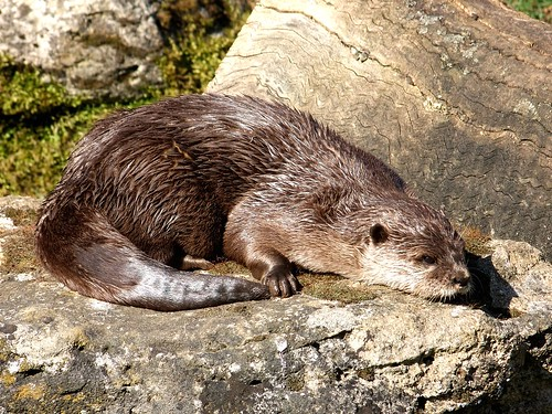 river otter basking in the sun on a rock, tail curled around, looking as though it is about to fall asleep.