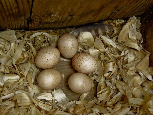 """""""My"""" Kestrel Eggs"""