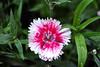 dianthus petals