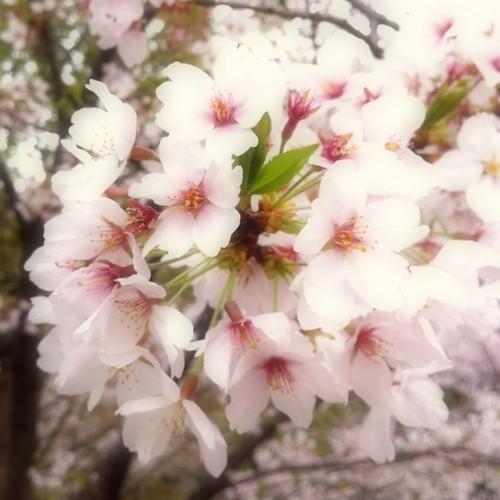 お昼休みのひと時にどうぞ! あと半日がんばるべ。p(^_^)q #sakura #afternoon