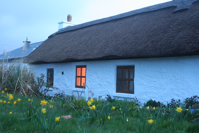 thatched cottage at dawn, surrounded by yellow daffodils