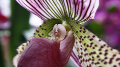 Easter Sunday orchid, purple passion play