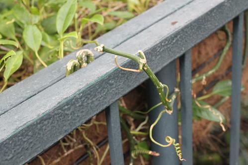 New York Botanical Gardens - Determined Vine on Stairwell