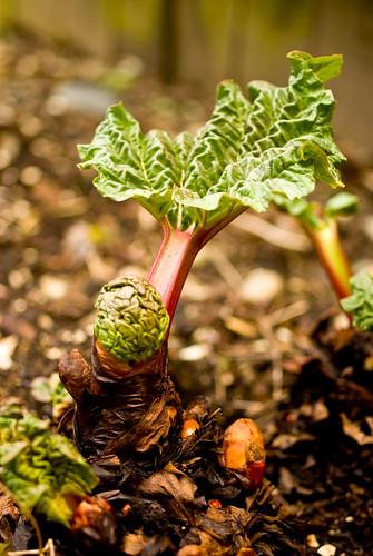 new rhubarb