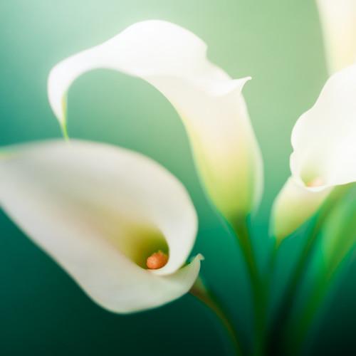 Flower por ►CubaGallery