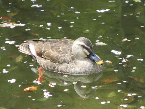 Cherry Blossom Ducks