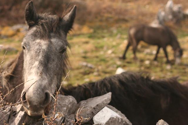 burren ponies