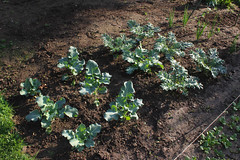 kale and broccoli, in the spring garden