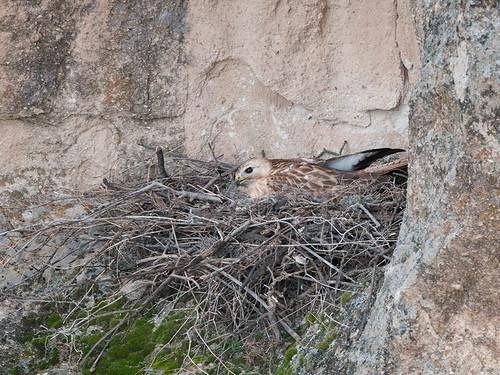 Buzzard-Chick