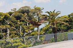 江の島めぐり―旋回するトビ(Kite, Enoshima, 2011)