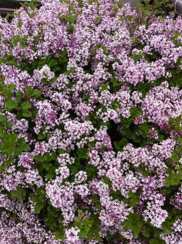 Lilacs!!!