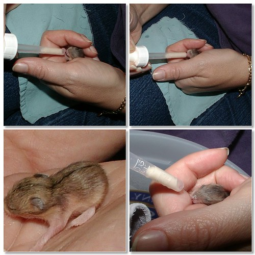 handfeeding baby hamsters that lost their mama