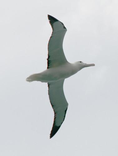 albatross #1