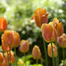 dreamy tulip flowers