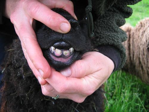 Big Boy Teeth