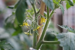 Tomatenbloem nr 2 update 20-06