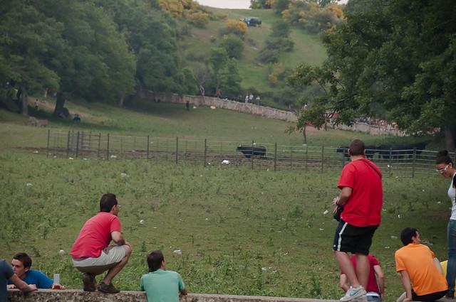 Toros en la pradera