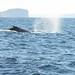 61 whale