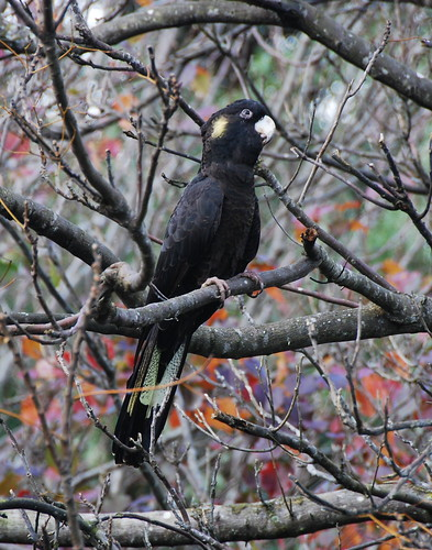 Yellow-tailed Black-Cockatoo by bhojman