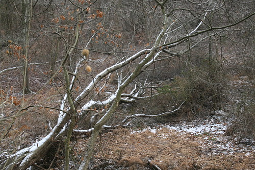 Fallen tree covered with snow