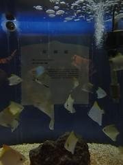 夜探台灣水域館:銀鱗鯧