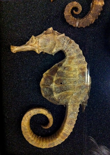 Beaty Museum - Seahorse in a display case