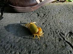 山上的螃蟹
