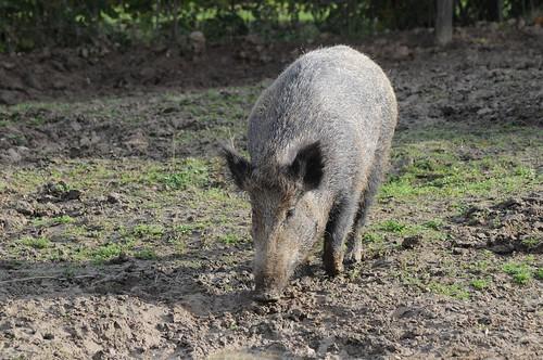 Wildschwein im Gaia Park Kerkrade im Oktober 2010